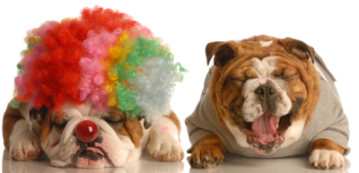 english bulldog laughing at another dog dressed up with clown wig on